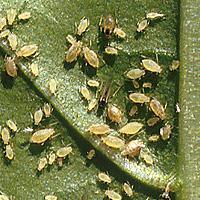 Škůdci na okurkách